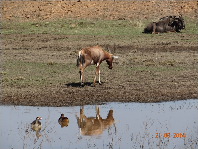 Blesbok and Wildebeest seen on our Safari near Durban to Tala game reserve, Valley of 1000 Hills and Zulu Cultural Village