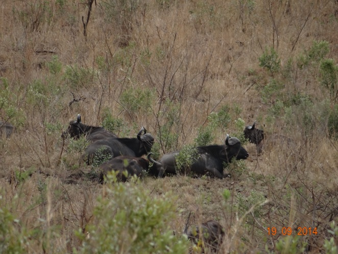 Buffalo herd seen during our Durban day Safari to Hluhluwe Imfolozi Big 5 Game reserve near Durban