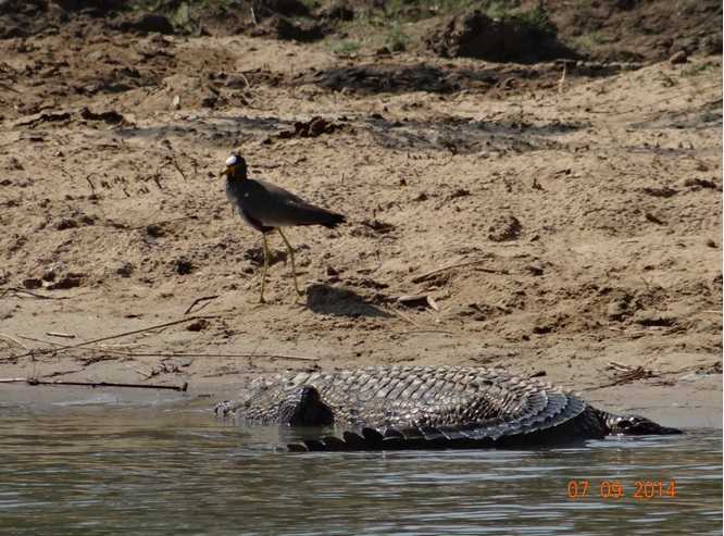 Crocodile get badgered by a Wattled Lapwing at St Lucia Estuary on Day 3 of our 3 day honeymoon Durban Safari Tour