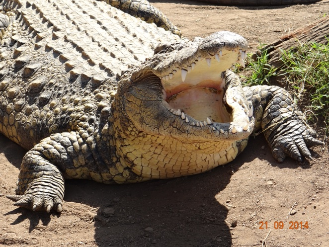 Crocodile regulating its body temperature seen on our Safari near Durban to Tala game reserve, Valley of 1000 Hills and Zulu Cultural Village