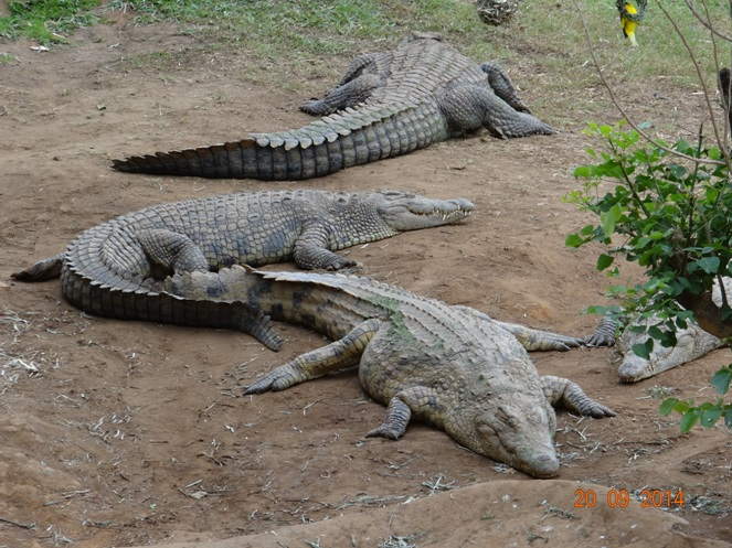 Crocodiles seen on our Durban Safari near Durban to Tala game reserve, Valley of 1000 Hills and Zulu Cultural Village