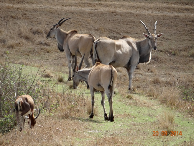 Eland seen on our Durban Safari near Durban to Tala game reserve, Valley of 1000 Hills and Zulu Cultural Village