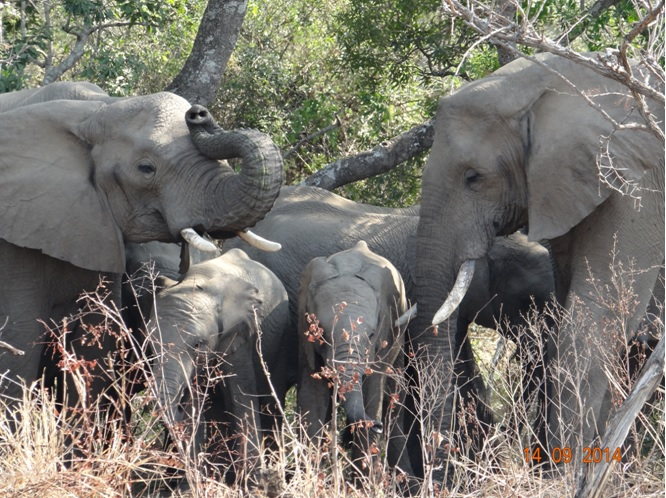 Elephant herd drink in the shade of the forest during our Durban Day Safari Tour