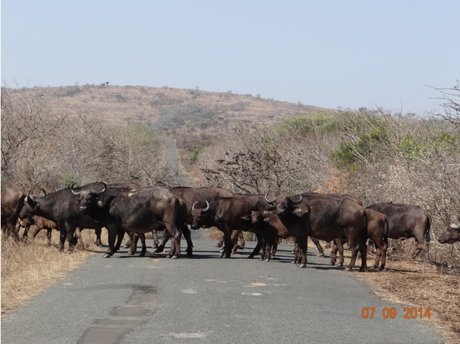 Herd of Buffalo crossing the road on Day 3 of our 3 day honeymoon Durban Safari Tour