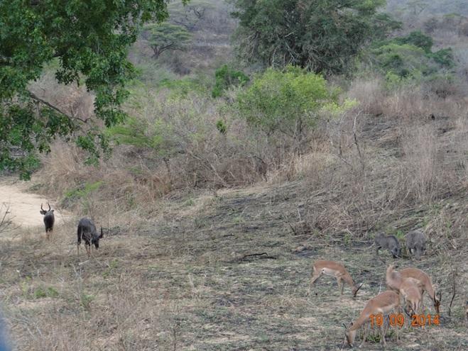 Impala, Nyala and Warthog during our Durban day Safari to Hluhluwe Imfolozi Big 5 Game reserve near Durban