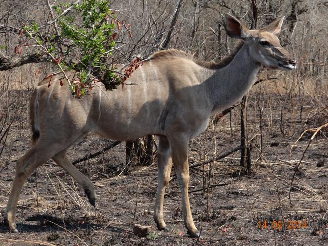 Kudu Cow walks past us on our Durban Day Safari Tour