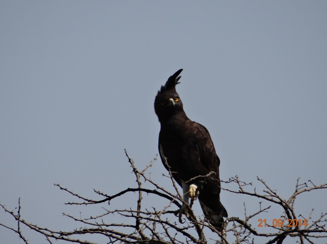 Long Crested Eagle seen on our Safari near Durban to Tala game reserve, Valley of 1000 Hills and Zulu Cultural Village