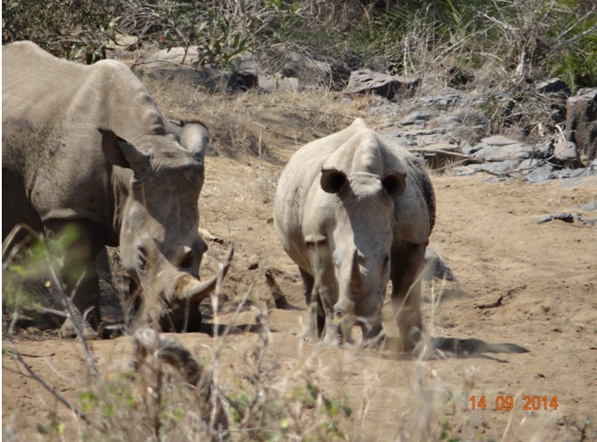 Rhinos seen spotted in a dry river bed during our Durban Day Safari Tour