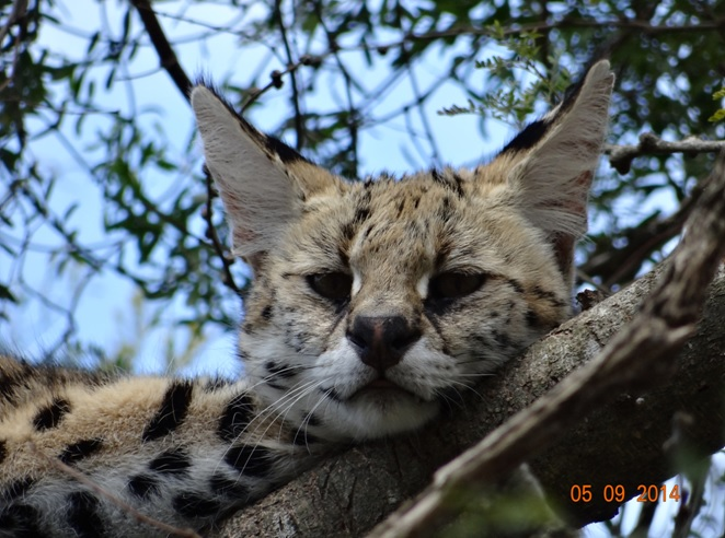 Serval in a Tree at Emdoneni on our 3 day honeymoon Durban Safari Tour