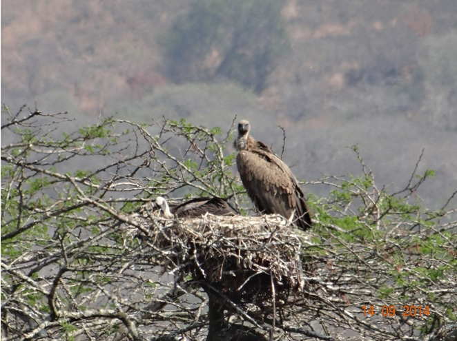 Vulture on a nest with her chick on our Durban Day Safari Tour