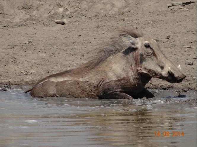 Warthog mud wallowing on our Durban Day Safari Tour