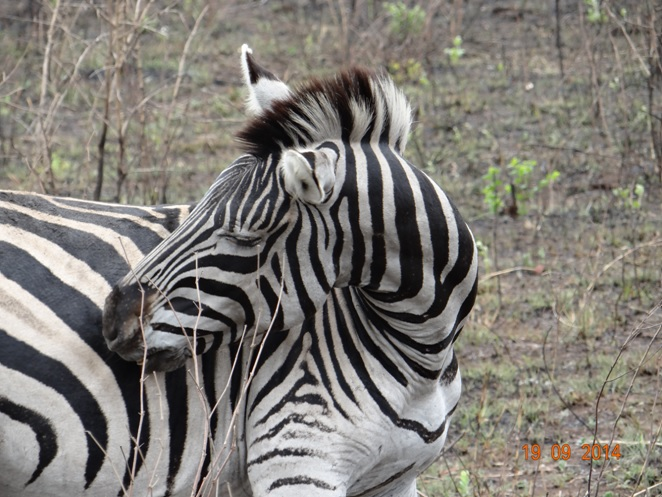Zebra cleans herself during our Durban day Safari to Hluhluwe Imfolozi Big 5 Game reserve near Durban