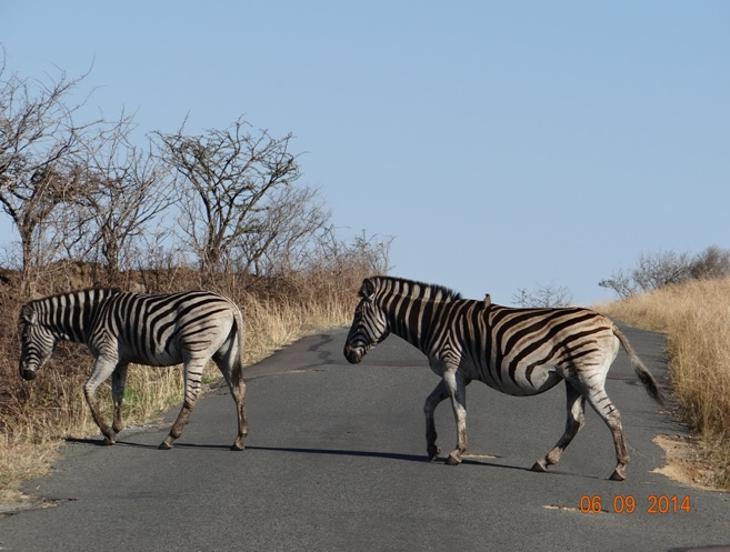 Zebra crossing the road on Day 2 of our 3 day honeymoon Durban Safari Tour