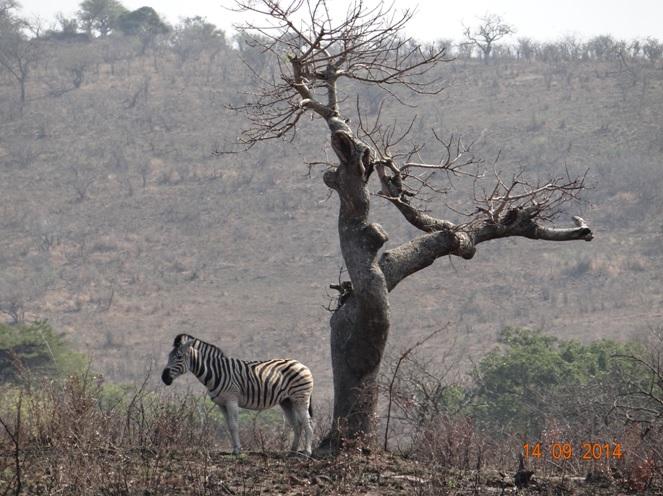 Zebra poses under a tree on our Durban Day Safari Tour
