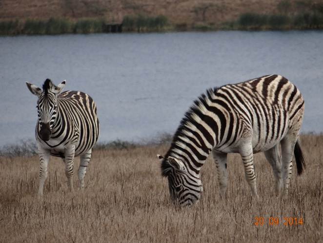 Zebra seen on our Durban Safari near Durban to Tala game reserve, Valley of 1000 Hills and Zulu Cultural Village