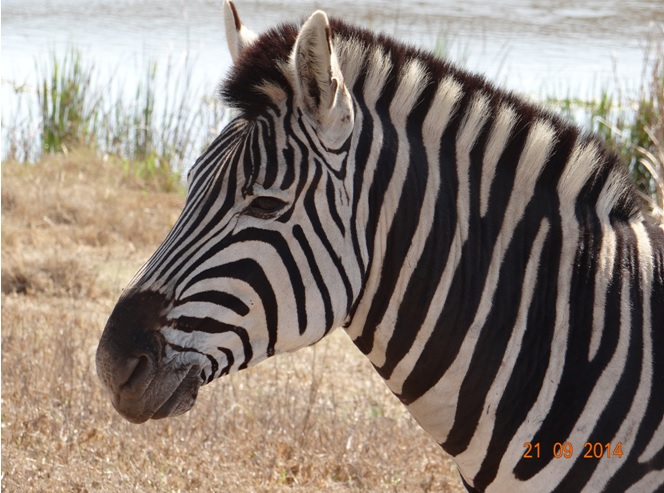 Zebra seen on our Safari near Durban to Tala game reserve, Valley of 1000 Hills and Zulu Cultural Village