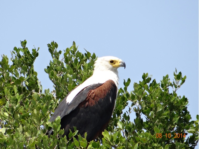 African Fish eagle at St Lucia Wetlands near Durban on our Safari Tour