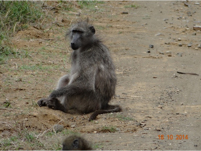 Baboon sitting on the road during our Durban Day Safari tour to Hluhluwe Imfolozi game reserve