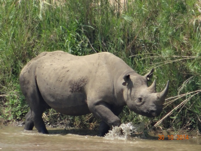 Black Rhino in the umfolozi river on our Durban day Safari Tour