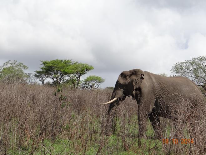 Bull Elephant seen on our Durban Day Tour