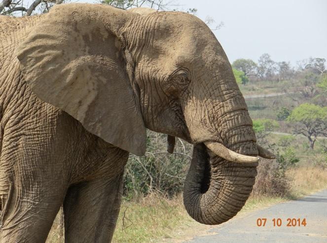 Bull Elephant sucks his trunk on our Safari near Durban