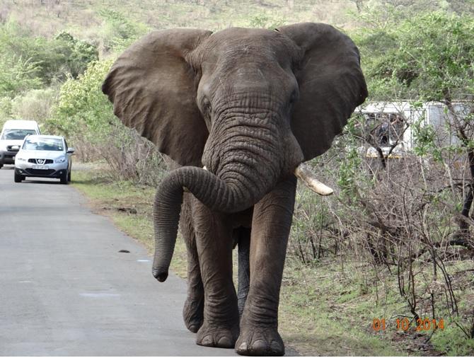Bull Elephant walking down the road towards us on our Durban Safari Tour