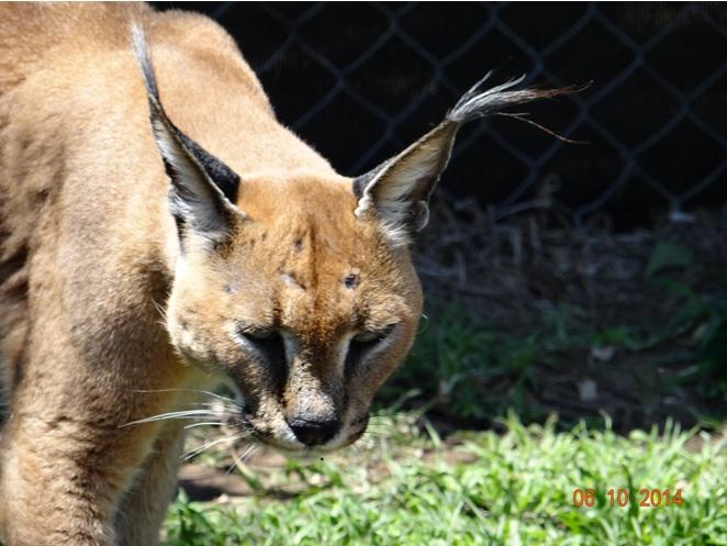 Caracal seen at Emdoneni Cat rehabilitation center on our Durban Safari