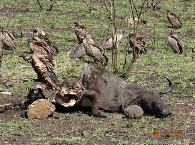 Carcass of the Buffalo after being taken over by the Vultures on our 3 Day Safari Tour near Durban