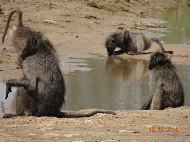 Chacma Baboons at the Umfolozi river during our Durban Day Safari Tour