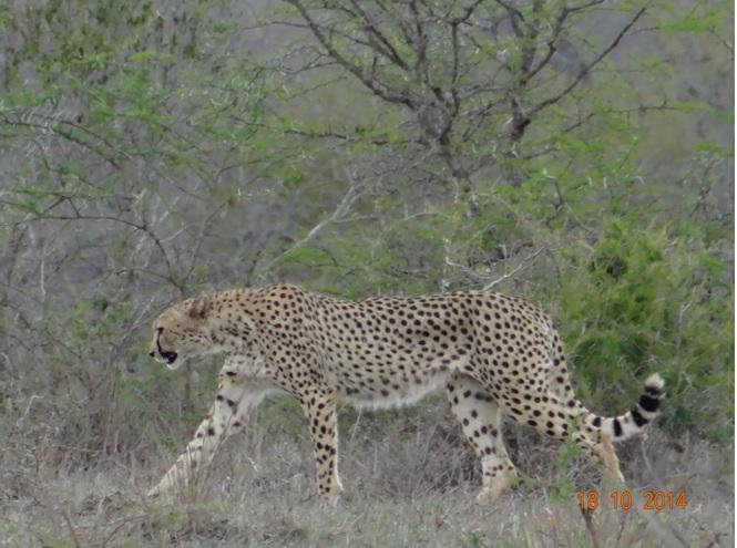 Cheetah seen during our Day Safari near Durban