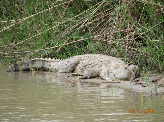 Crocodile seem in the Umfolozi river on our Durban day Safari Tour