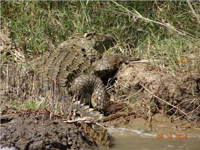 Crocodile seen at St Lucia Isimangeliso wetland park during a Safari tour from Durban