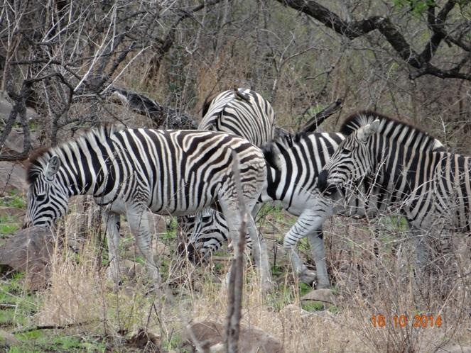 Dazzle of Zebra seen on our Durban Day Safari