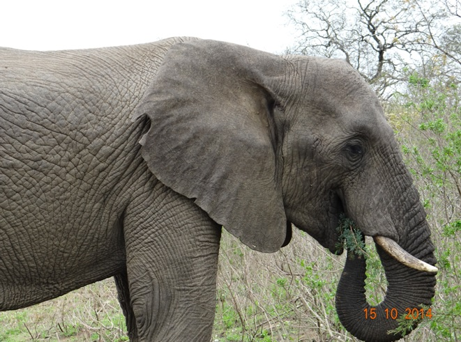 Elephant Bull seen on our day Tour from Durban