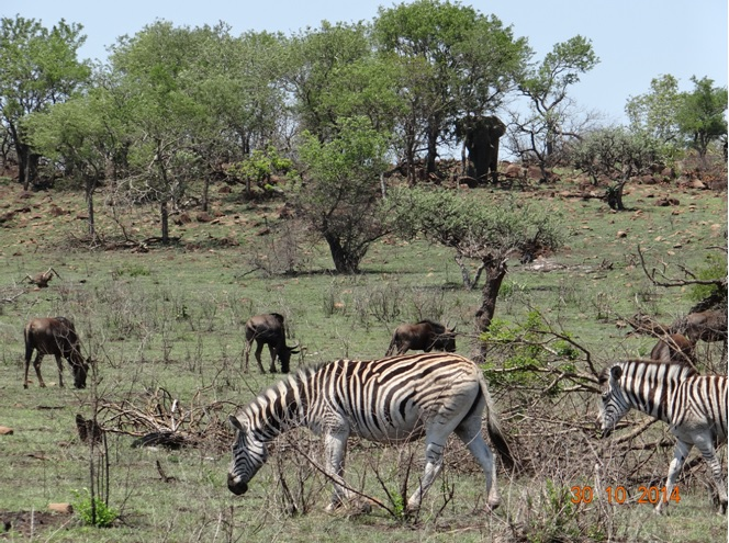 Elephant Zebra and Wildebeest all in one picture on our Safari from Durban