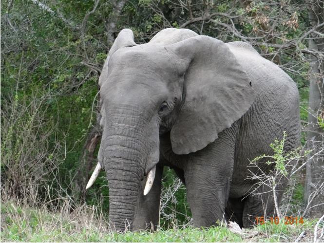 Elephant seen on our Durban Day Tour