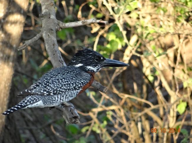 Giant Kingfisher seen on our Durban Safari Tour