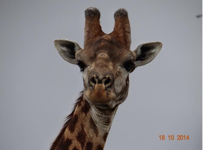 Giraffe seen during our Day Safari from Durban