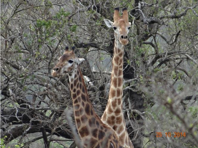 Giraffe seen during our Durban day Tour