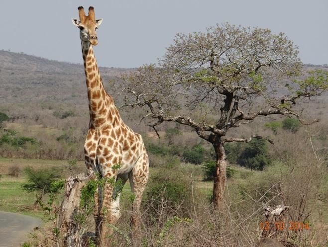 Giraffe seen on our Durban Day Safari