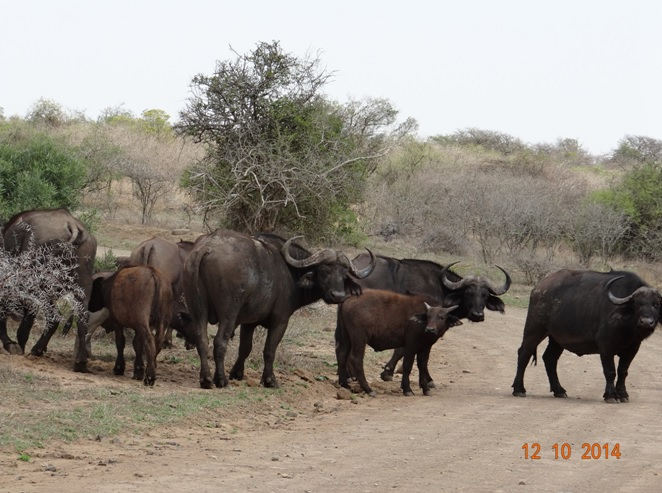 Herd of Buffalo seen on the road during our Durban Day Tour