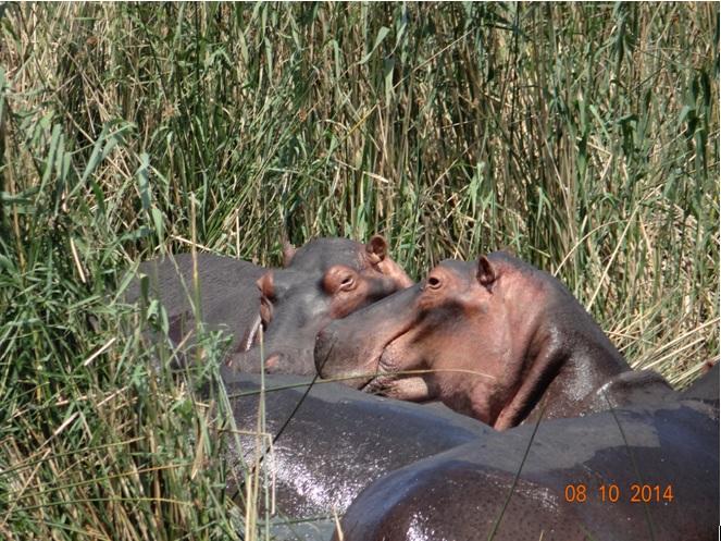 Hippos seen on our 3 day Safari near Durban