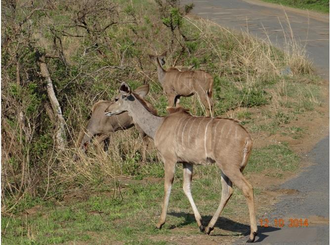 Kudu crossing the road on our Durban Day Safari Tour