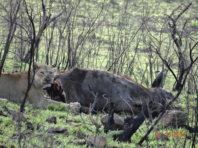 Lioness give us the stare as she feeds on her Buffalo kill during our Durban 3 Day Safari Tour in Hluhluwe Imfolozi game reserve