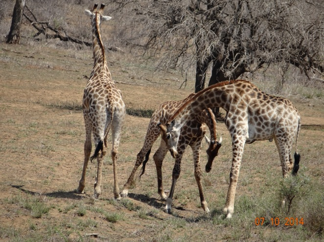 Male Giraffe necking for dominance seen during our Durban Big 5 Safari Tour in Hluhluwe Imfolozi game reserve