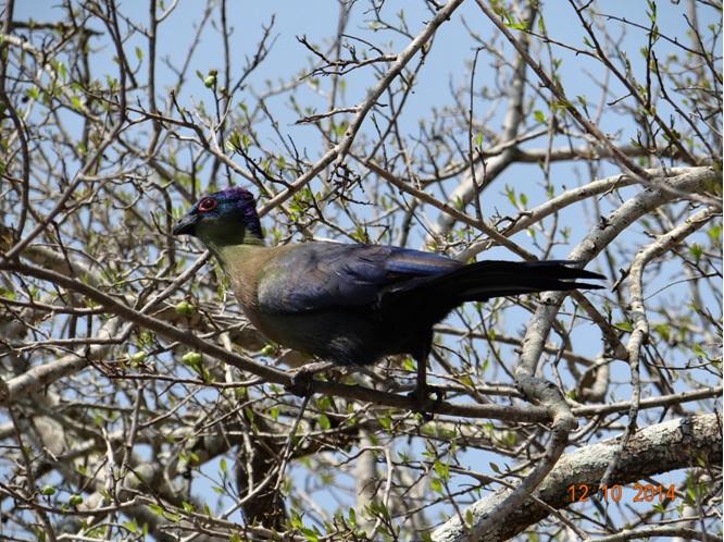 Purple Crested Turaco seen on our Durban Day Safari Tour