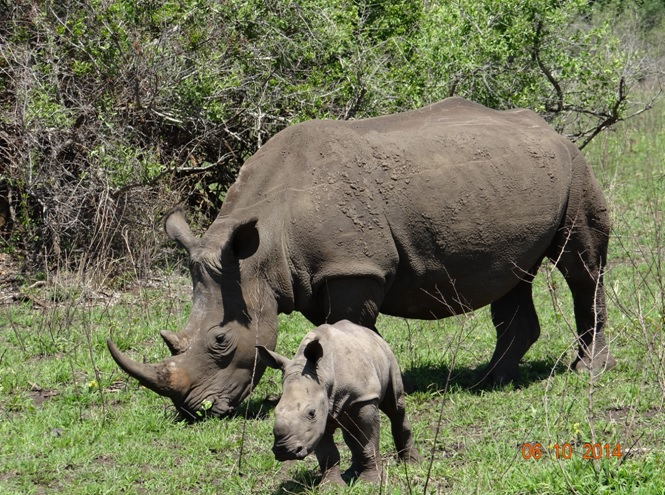Rhino mother and calf on our safari from Durban