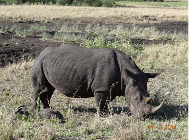 Rhino mother and new born calf sleeping next to her seen on our Safari near Durban
