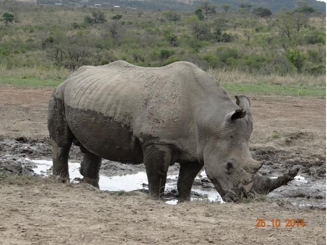 Rhino on our Durban day tour