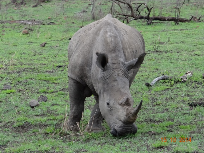 Rhino seen on our Durban Day Tour to Hluhluwe Imfolozi game reserve